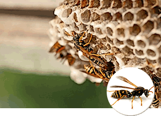 アシナガバチの画像 p1_30